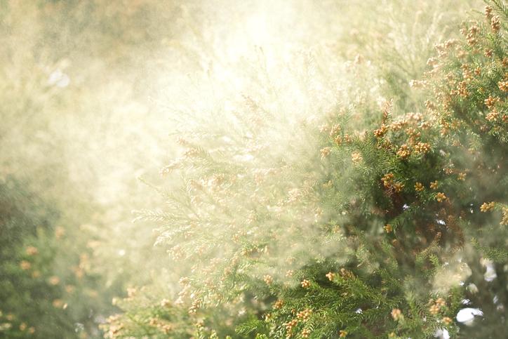 スギ花粉の季節がやってきました